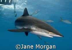 Silky shark under the boat in Cuba. Nikon D80 by Jane Morgan 